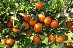Orange tree. Fresh orange on plant, orange tree Royalty Free Stock Photography