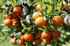 Orange tree. Fresh orange on plant, orange tree Royalty Free Stock Images