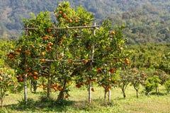 Orange tree. Fresh orange on plant or  orange tree Stock Photos