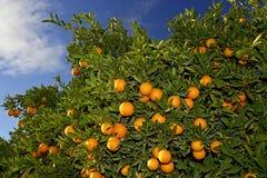 Orange-tree Royalty Free Stock Images