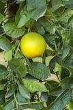Orange Tree. Fresh, ripe organic oranges hanging on an orange tree Royalty Free Stock Photos