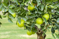 Orange Tree. Fresh, ripe organic oranges hanging on an orange tree Stock Photography