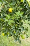 Orange Tree. Fresh, ripe organic oranges hanging on an orange tree Stock Image