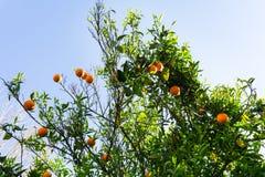 Orange tree. fruit of garden view wallpaper Royalty Free Stock Images