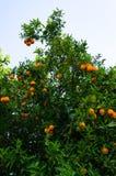 Orange tree. fruit of garden wallpaper Royalty Free Stock Photo