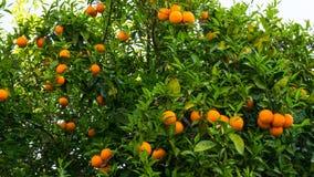 Orange tree. fruit of garden wallpaper food Stock Photo