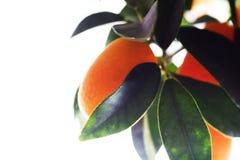 Orange tree. With fruit isolated on white backround Royalty Free Stock Images