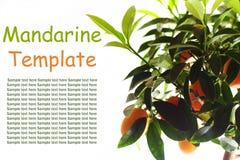 Orange tree. With fruit isolated on white backround Stock Photos