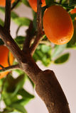 Orange tree Royalty Free Stock Images