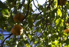 Orange tree. Fruit orange tree and leaf Royalty Free Stock Image