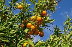 Orange tree with fruits Royalty Free Stock Photos