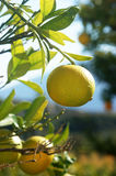 Orange tree. With fruits on branches Royalty Free Stock Image