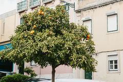Orange tree with fruits in downtown in Lisbon, Portuguese. Gardening or city landscape. Fruit-tree with natural organic Royalty Free Stock Photos
