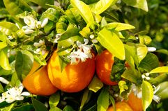 Orange tree with fruits and flowers. On plantation Royalty Free Stock Photography