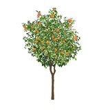 Orange tree with fruits and flowers Royalty Free Stock Photo