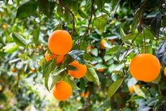 Orange tree with fruits Stock Photos
