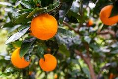 Orange tree with fruits Royalty Free Stock Image