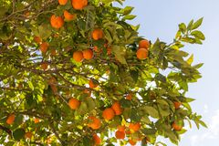 Orange tree with fruits on its branches royalty free stock photo