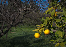 Orange tree. With fruits in Mallorca Balearic islands Spain in winter Stock Images