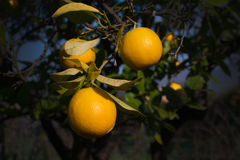 Orange tree. With fruits in Mallorca Balearic islands Spain in winter Royalty Free Stock Photo