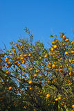 Orange tree. With fruits in Mallorca Balearic islands Spain in winter Stock Image