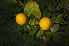 Orange tree. With fruits in Mallorca Balearic islands Spain in winter Stock Photo
