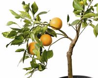 Orange Tree with fruits in pot. Isolated oranges on tree with leafs royalty free stock image