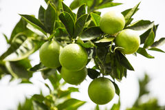 Orange tree with fruits Stock Images