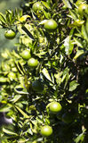 Orange tree with fruits ripen Royalty Free Stock Images
