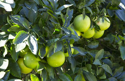 Orange tree with fruits ripen Royalty Free Stock Photography