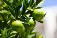Orange tree with fruits Royalty Free Stock Photos