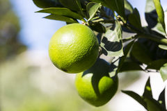 Orange tree with fruits ripen. In the garden Royalty Free Stock Photography