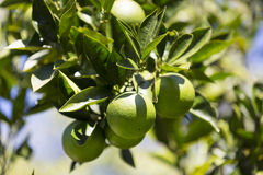 Orange tree with fruits ripen. In the garden Stock Photography