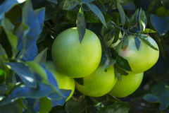 Orange tree with fruits ripen. In the garden Royalty Free Stock Photos