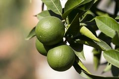 Orange tree with fruits ripen Stock Photography