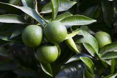 Orange tree with fruits ripen Royalty Free Stock Photos