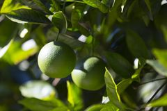Orange tree with fruits ripen Stock Image