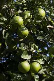 Orange tree with fruits ripen Stock Images