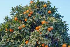 Orange Tree. Full of fruits Royalty Free Stock Photos