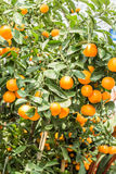 Orange tree full of fruits. Orange trees with oranges and yellow strip to eat Royalty Free Stock Photo