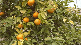 Orange tree full handheld stock footage