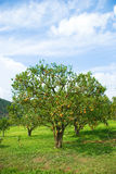 Orange Tree full with orange Royalty Free Stock Photos