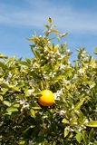An Orange Tree in Full Spring Blossom. An orange tree, in full Spring blossom, growing on an orchard near Griffith, in New South Wales, Australia Stock Images