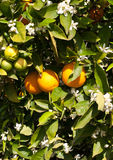 An Orange Tree in Full Spring Blossom Royalty Free Stock Image