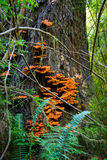 Orange Tree Fungus in Forest Royalty Free Stock Image