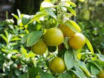 Orange tree Stock Photography