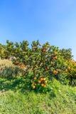 Orange tree. Orange on the tree in the garden Royalty Free Stock Photo