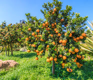 Orange tree. Orange on the tree in the garden Stock Image