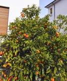 orange tree in a garden Stock Images