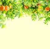 Orange tree garden Stock Photo